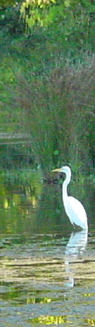 Egret at William Pond