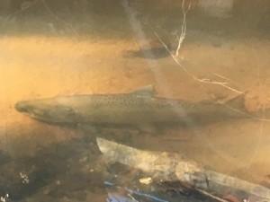 160208 salmon photo